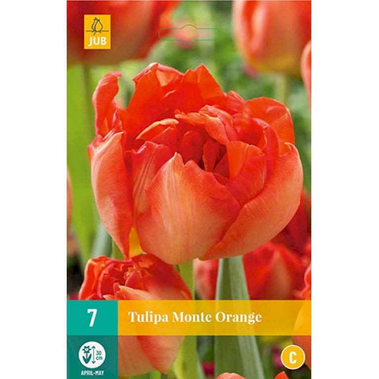 Tulips Monte Orange
