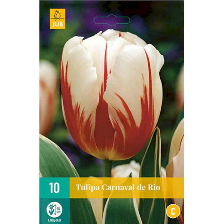 Tulipan 'Carnaval De Rio'