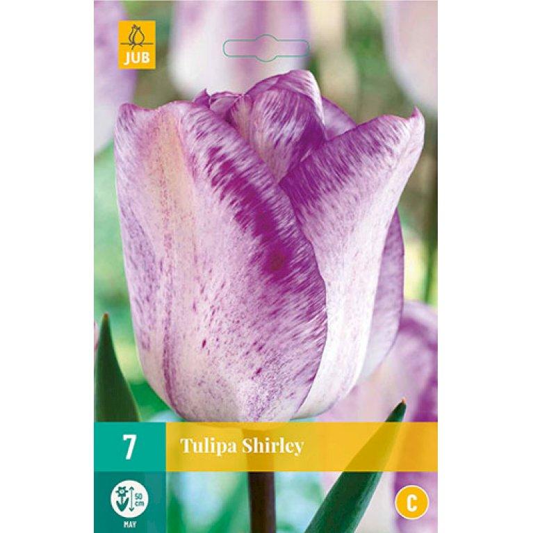 Tulips Shirley