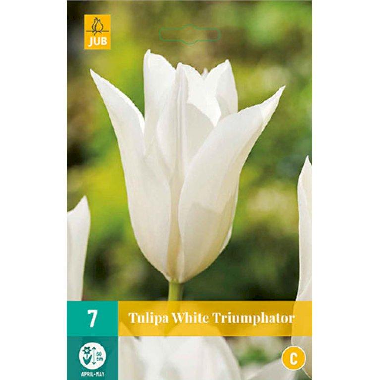 Tulipan 'White Triumphator'