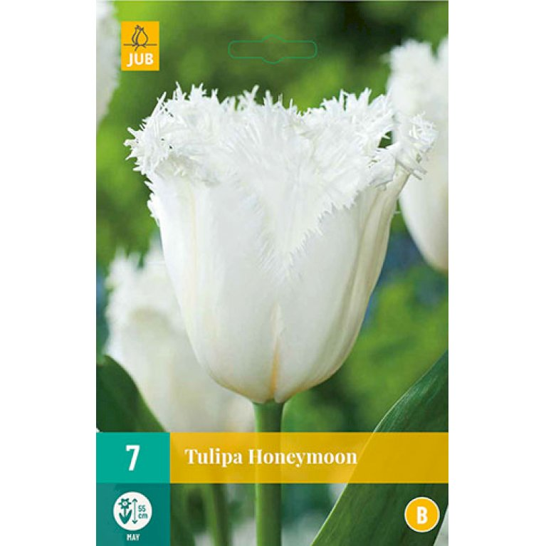 Tulipan 'Honeymoon'