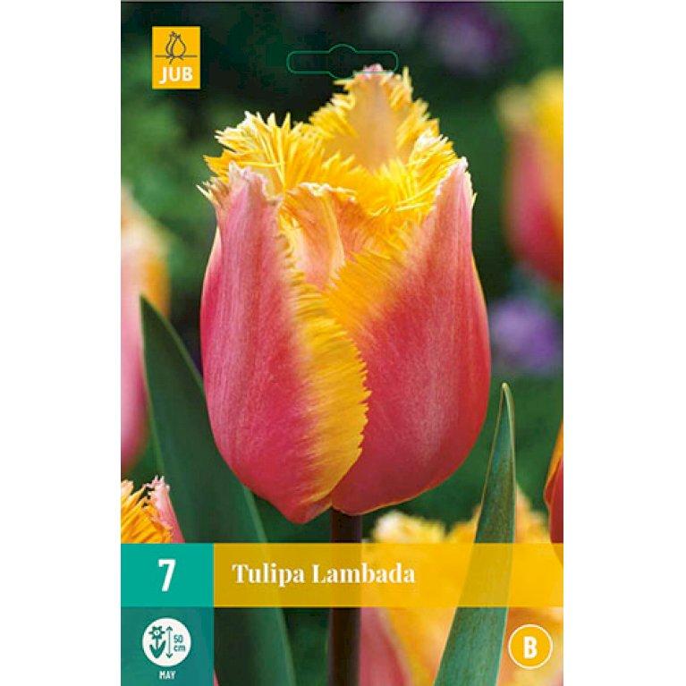 Tulips Lambada