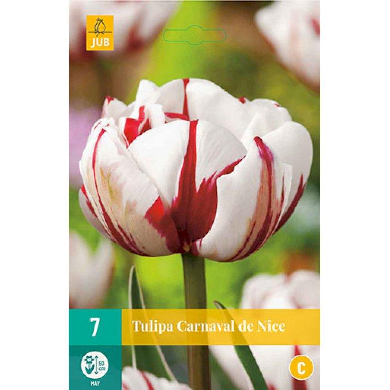 Tulips Carnaval De Nice