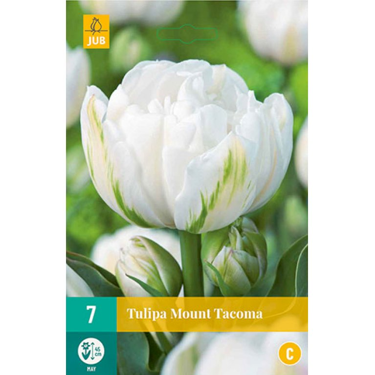 Tulips Mount Tacoma