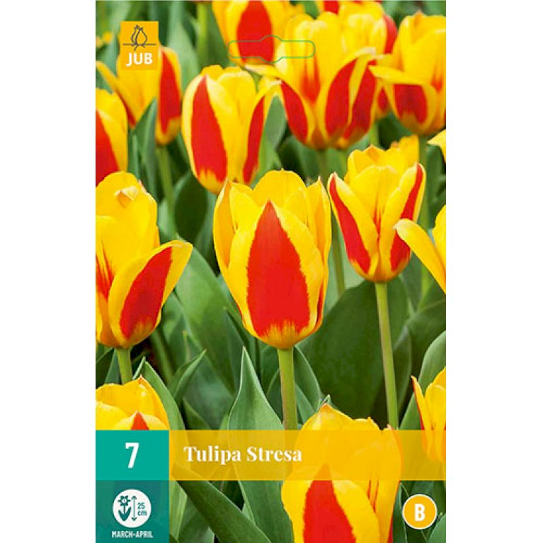 Tulips Stresa