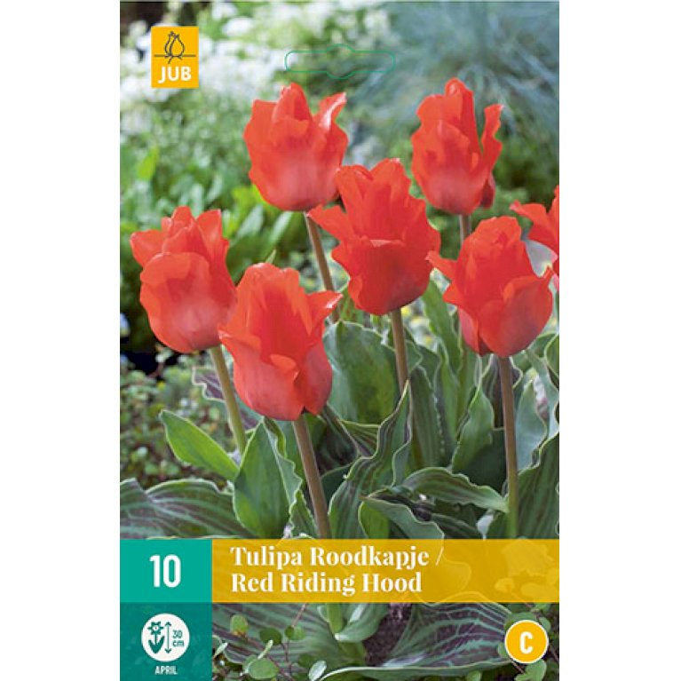 Tulips Red Riding Hood