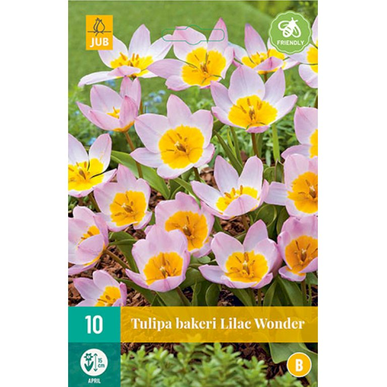Tulips Bakeri Lilac Wonder
