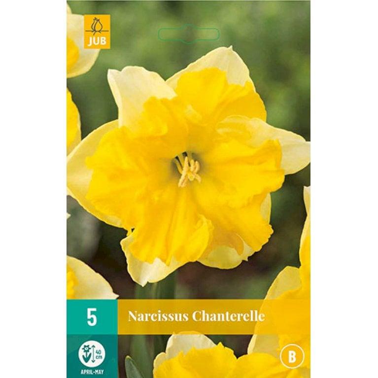 Narcissus Chanterelle