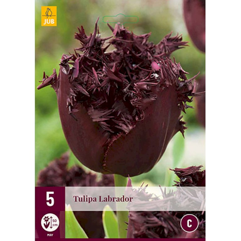 Tulips Labrador