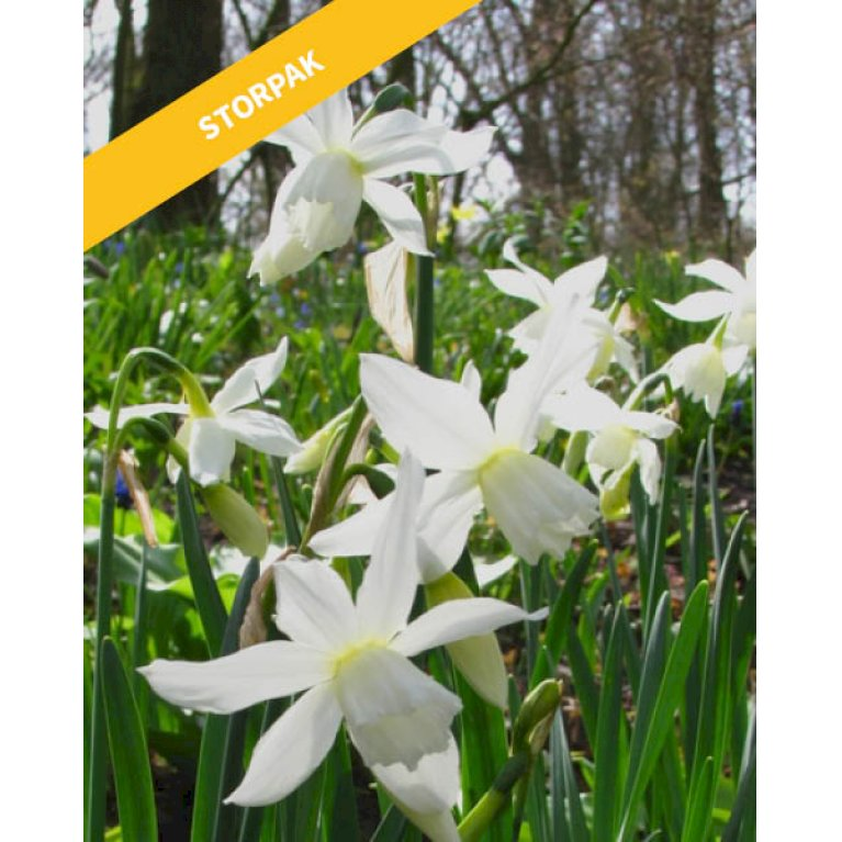 Narcissus Triandrus Thalia - 40 stk.