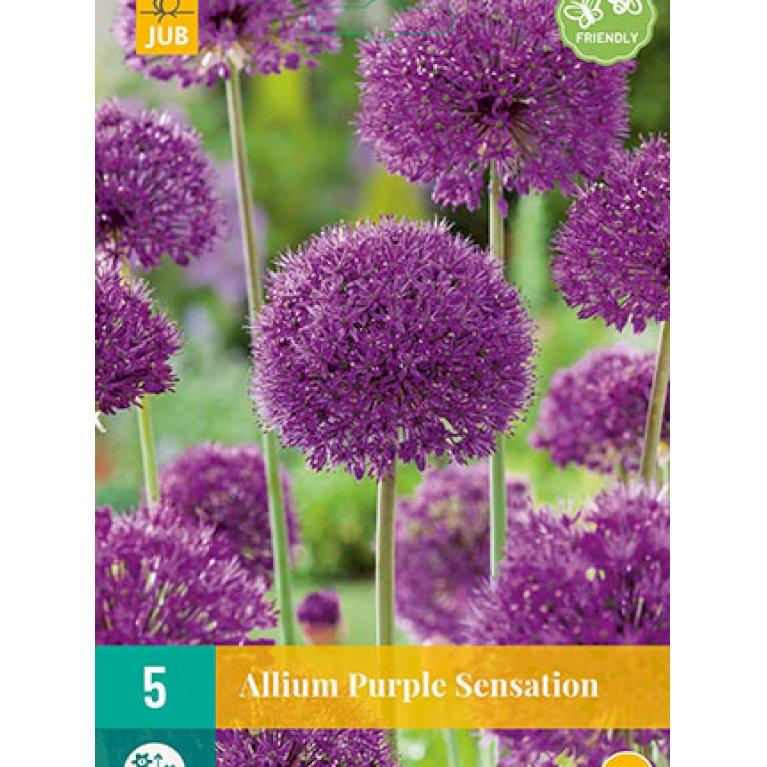 Prydløg 'Purple Sensation'