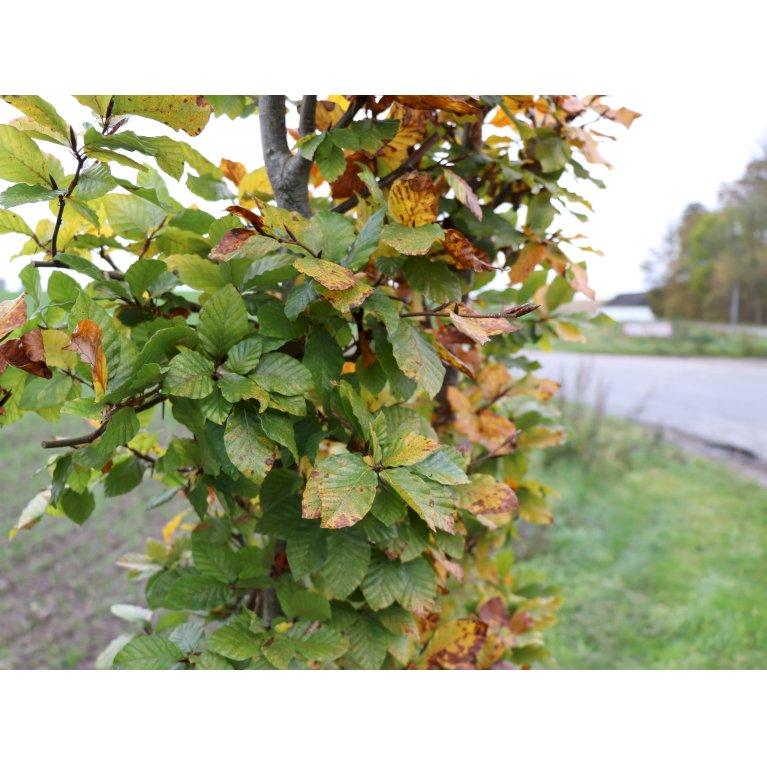 Plantetorvet Færdighæk Bøg