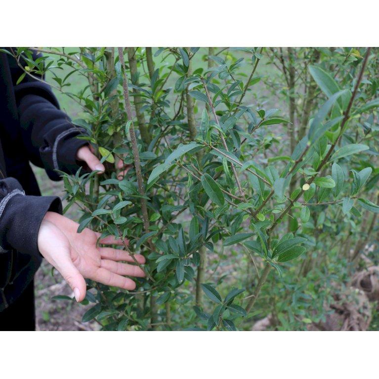 Plantetorvet Færdighæk Liguster