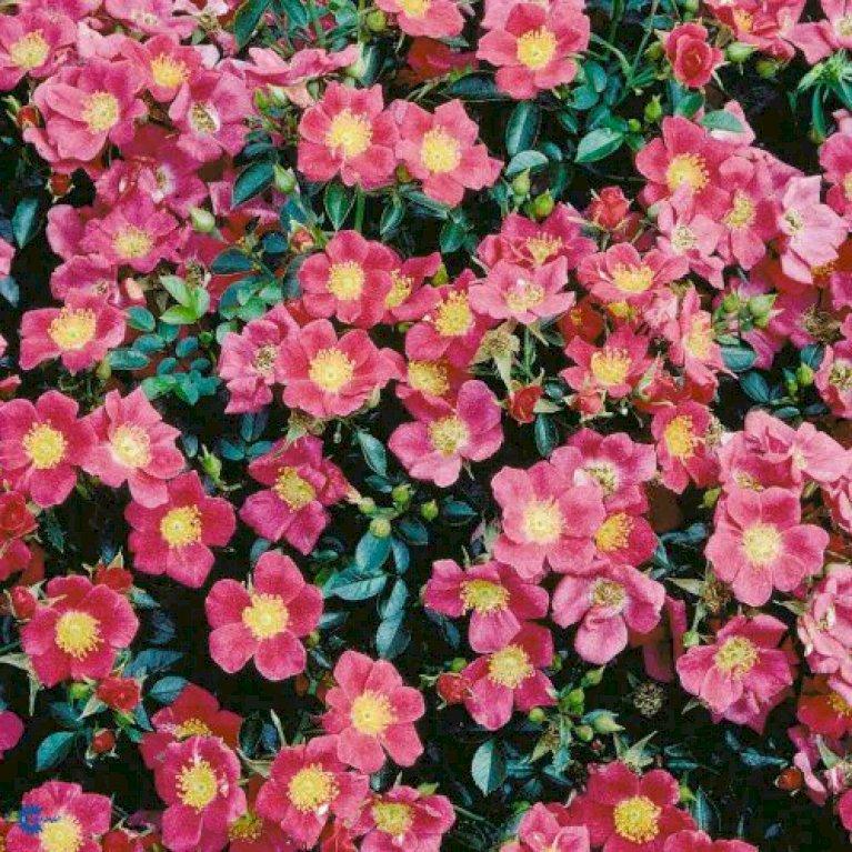 Bunddækkende Rose 'Tommelise'