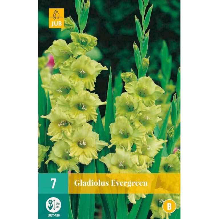 Gladiolus Evergreen