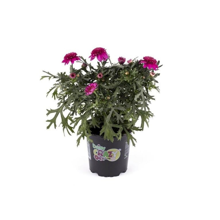 Margerit 'Maderia Hot Pink'