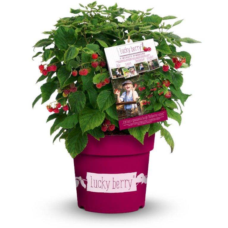 Lucky Berry Hindbær