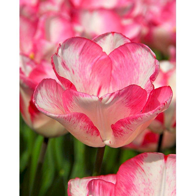 Tulipan 'Playgirl'