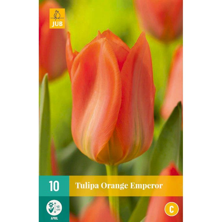 Tulipan 'Orange Emperor'