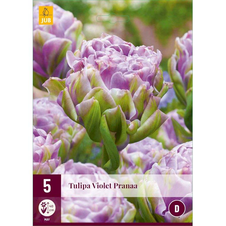 Tulipan 'Violet Pranaa'