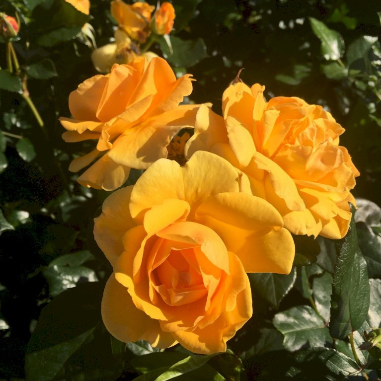 Rose 'Friendship Forever' Plant'n'relax (R)
