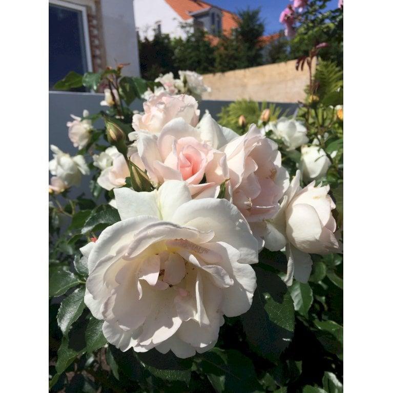 Rose 'Inger Forever' Plant'n'Relax