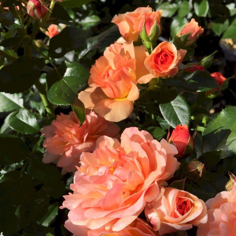Prins Henrik's rose