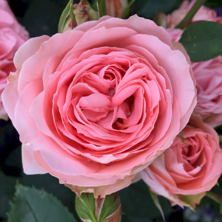 Rose What a Wonderful World Plant'n'Relax