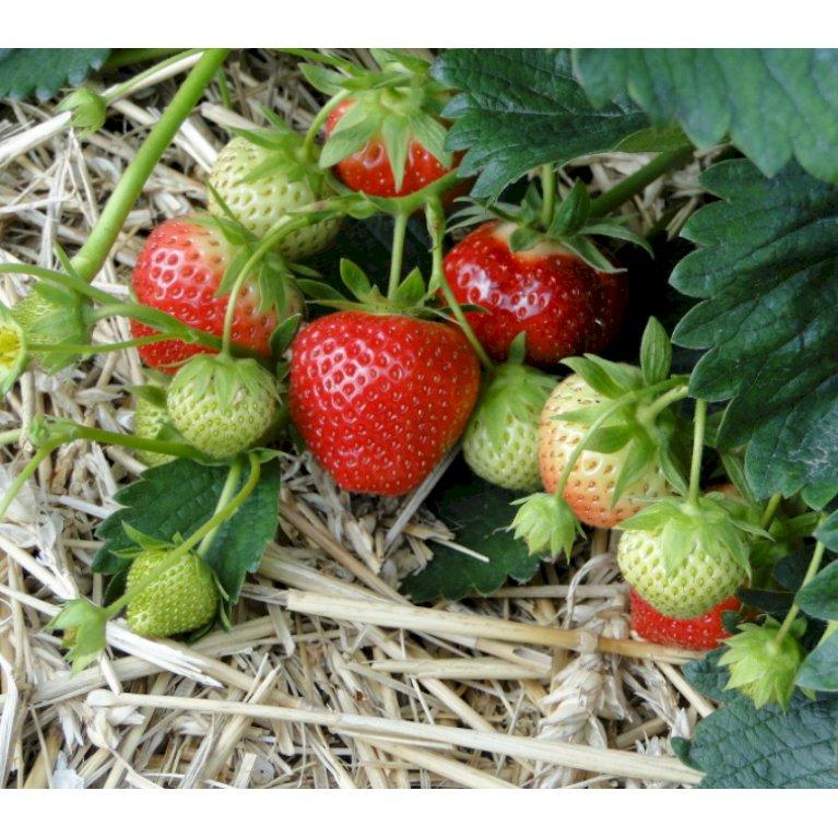 Jordbær 'Rumba'