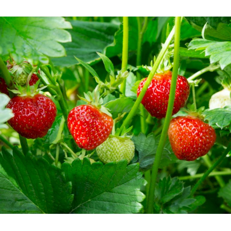 Jordbær 'Flair'