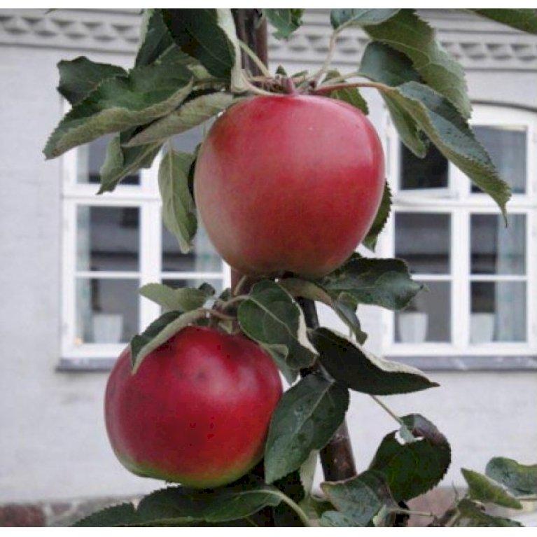 Æble 'Suncats'
