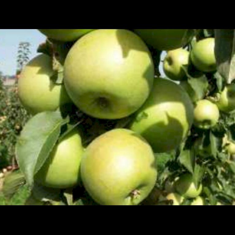 Æble 'Greencats'