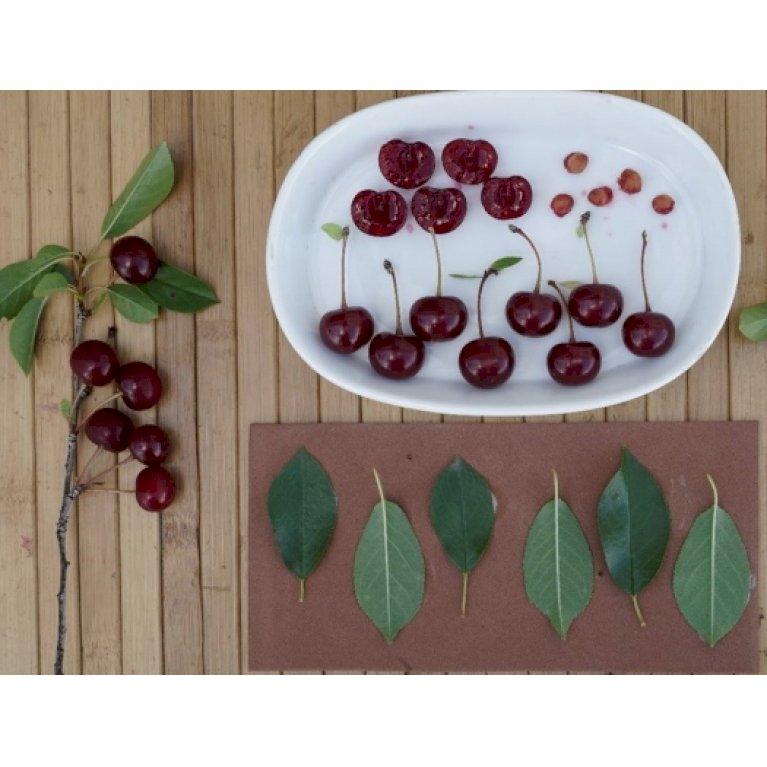 Surkirsebær-busk 'Porthos'