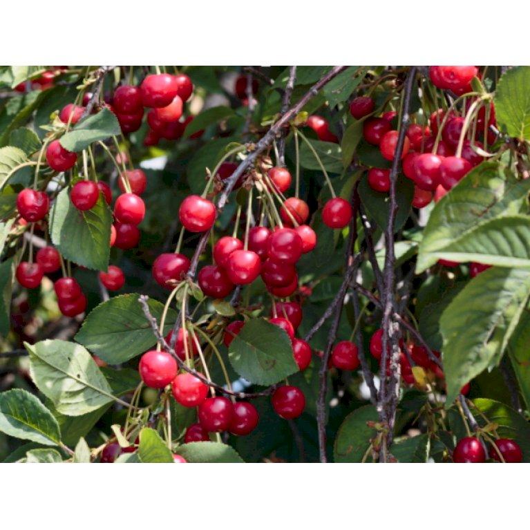 Kirsebær 'Burlat'