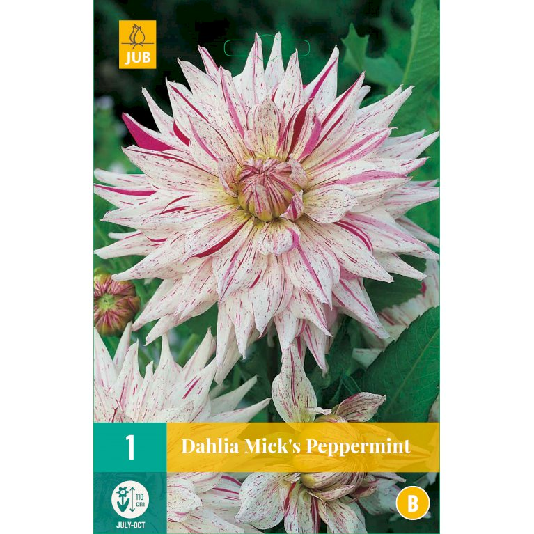 Dahlia Mick's Peppermint