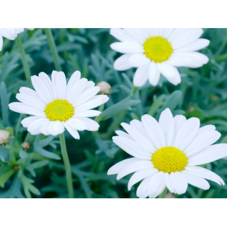 Margerit 'Perfect White'