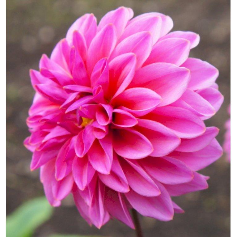 Dahlia 'Pink'