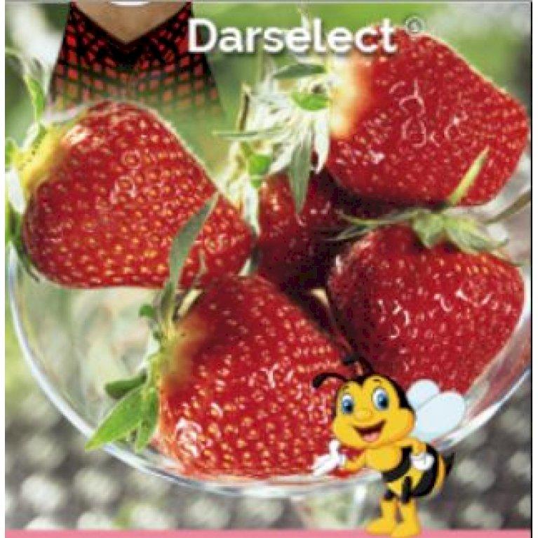 Jordbær 'Darselect'