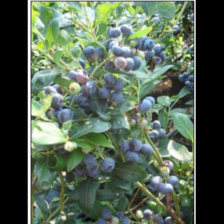 Storfrugtet Blåbær