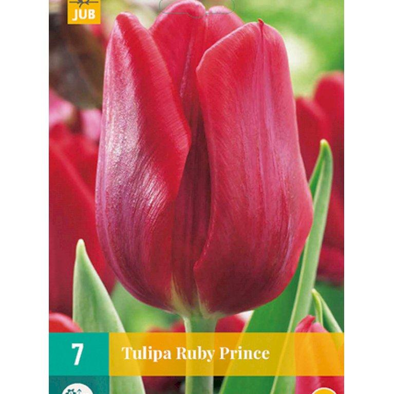 Tulipan 'Ruby Prince'