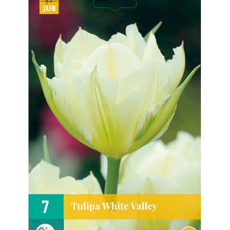 Tulipan 'White Valley'