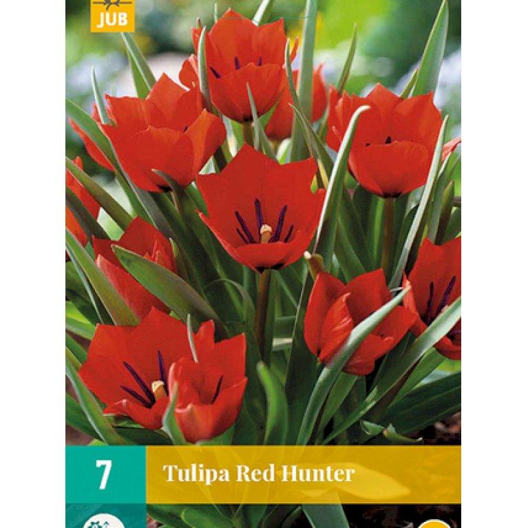 Tulipan 'Red Hunter'