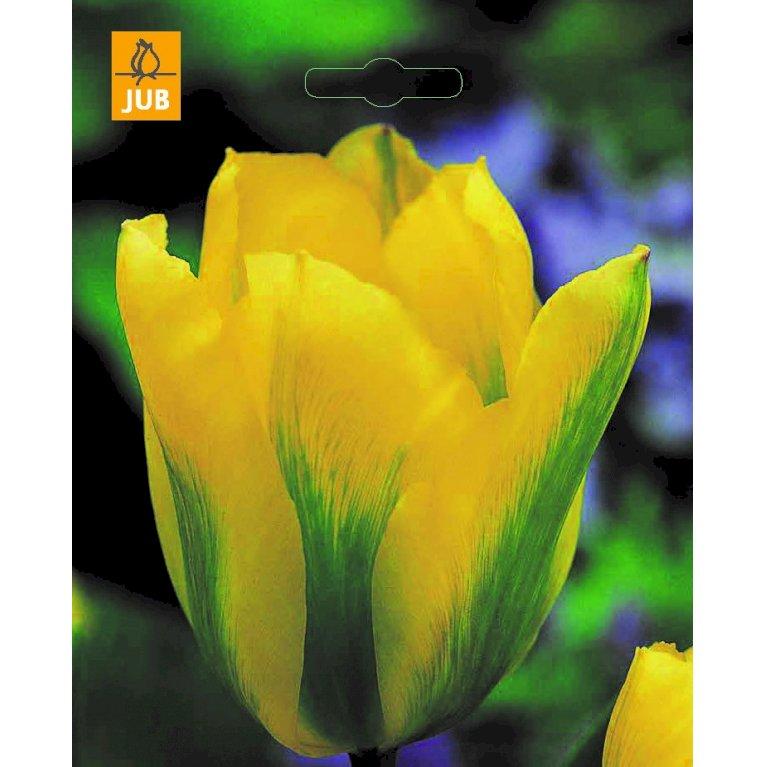 Tulipan 'Formosa'