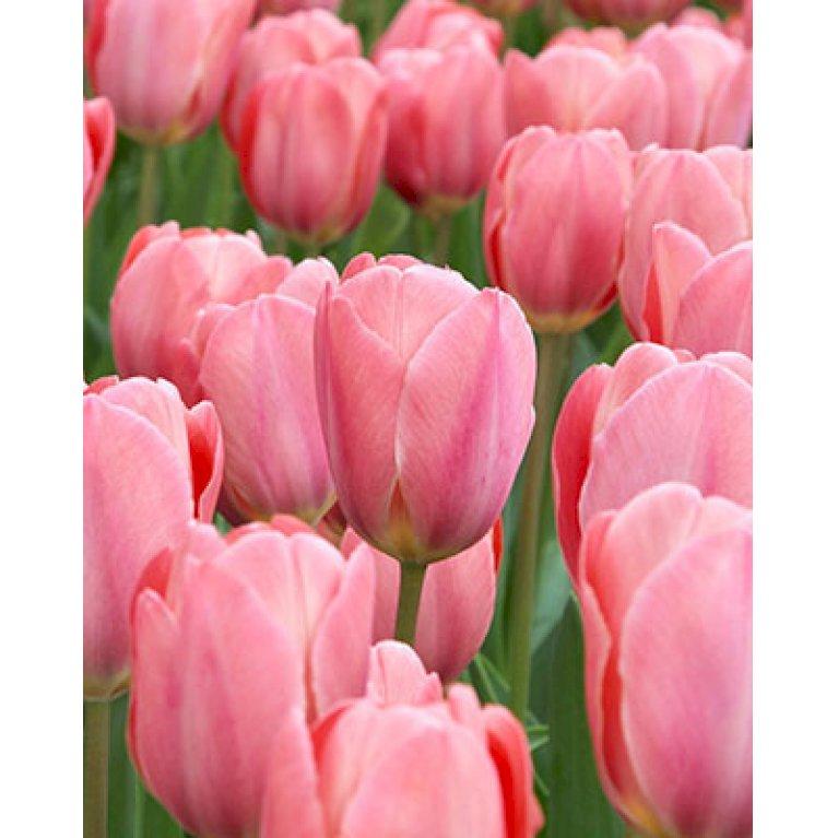 Tulipan 'Design Impression'