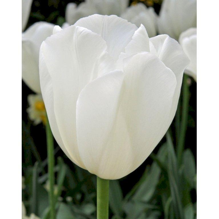 Tulipan 'Clearwater'