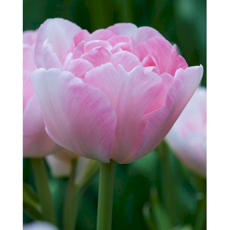 Tulipan 'Angelique'