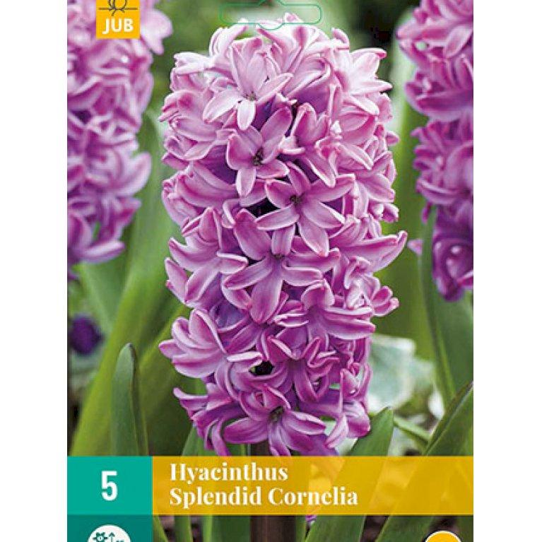 Hyacinth 'Splendid Cornelia'