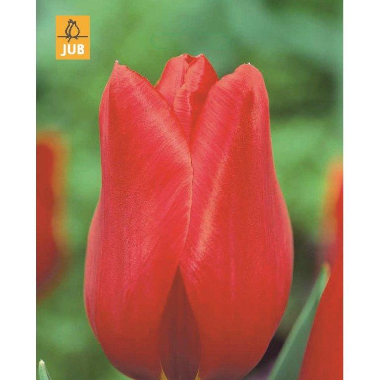 Tulipan 'Kingsblood'