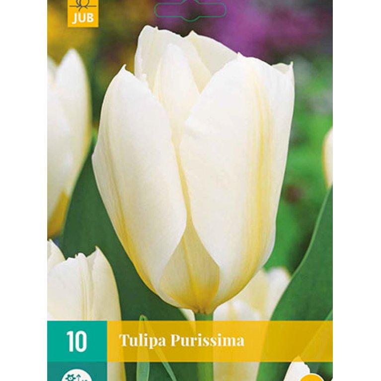 Tulipan 'Purissima'