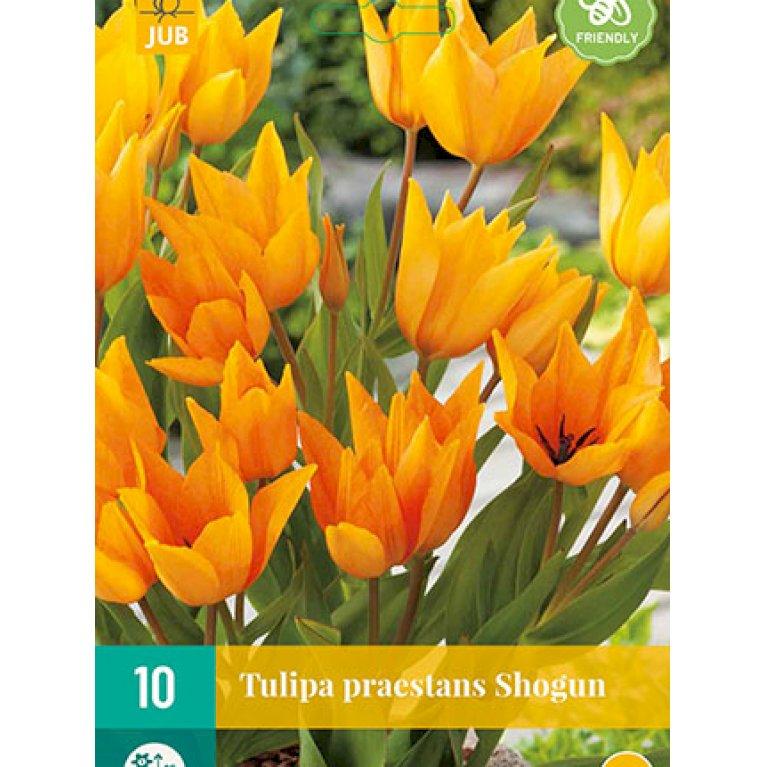 Tulipan 'Praestans Shogun'